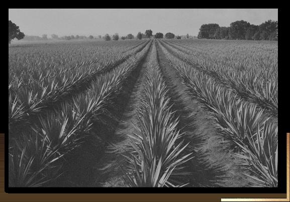 Cultivos de agave